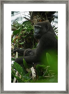 Western Lowland Gorilla, Ngaga Odzala Framed Print by Pete Oxford