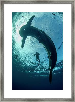 Whale Shark And Tourist Framed Print by Pete Oxford