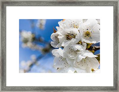 White Cherry Blossoms Blooming In The Springtime Framed Print by Nila Newsom