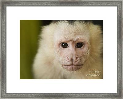 White-faced Capuchin Framed Print