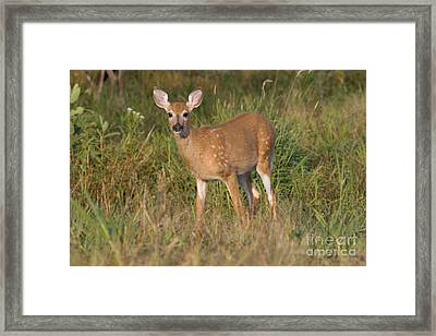 White-tailed Fawn Framed Print
