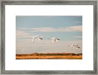 Whooper Swans Framed Print