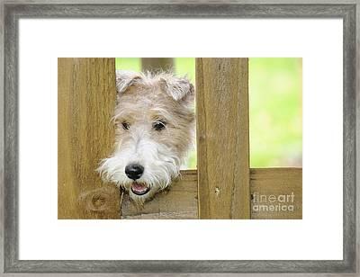 Wire Fox Terrier Framed Print by John Daniels
