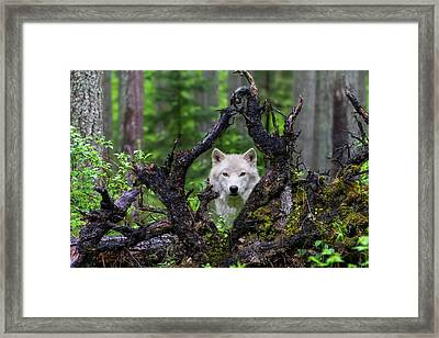 Wolf Framed Print by Mike Centioli