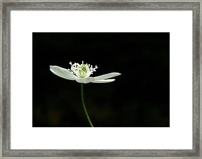 Wood Anenome Framed Print