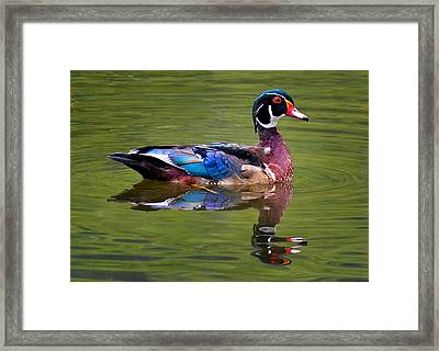 Wood Duck Framed Print by Jean Noren