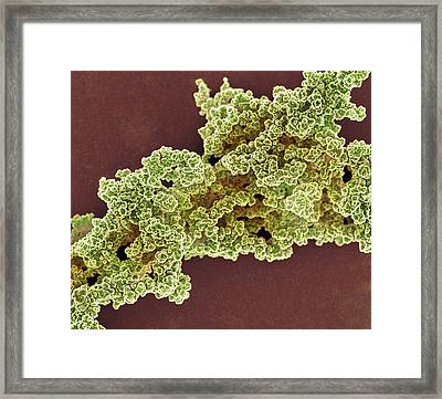 Yeast Extracellular Matrix Framed Print by Science Photo Library
