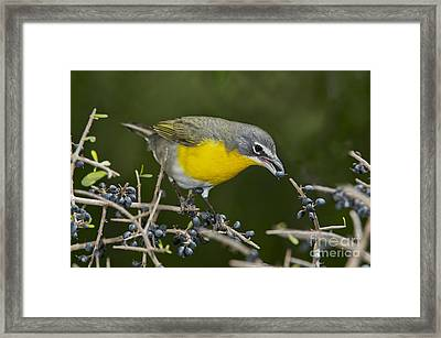 Yellow-breasted Chat Framed Print