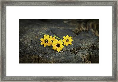 3 Yellow Flowers Framed Print by Aged Pixel