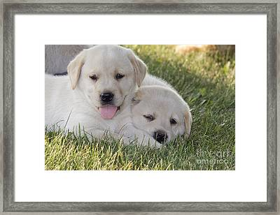 Yellow Labrador Retriever Puppies Framed Print by Linda Freshwaters Arndt