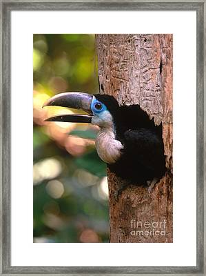 Yellow-ridged Toucan Framed Print by Art Wolfe