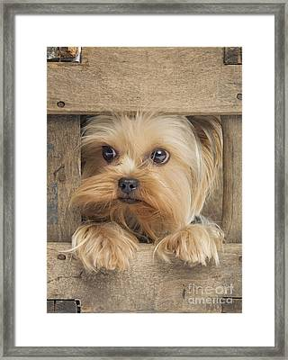 Yorkshire Terrier Dog Framed Print