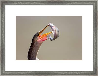 Brazil, Mato Grosso, The Pantanal Framed Print