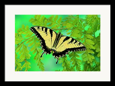 Eastern Tiger Butterfly Framed Prints