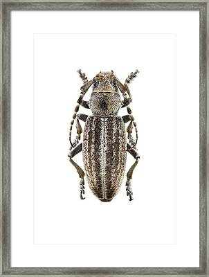 Longhorn Beetle Framed Print by F. Martinez Clavel