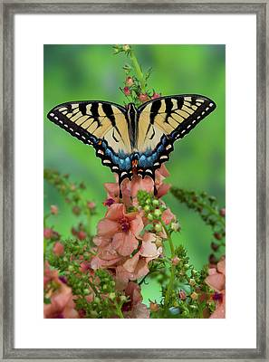 Eastern Tiger Swallowtail Butterfly Framed Print