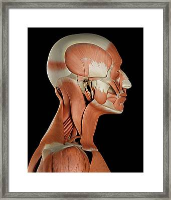 Human Facial Muscles Framed Print by Sciepro