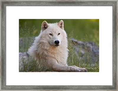 Arctic Wolf Framed Print by Wolves Only