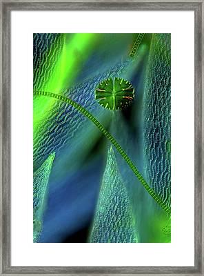 Desmids On Sphagnum Moss Framed Print by Marek Mis