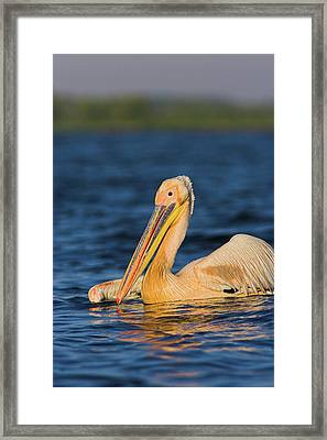 Great White Pelican (pelecanus Framed Print by Martin Zwick