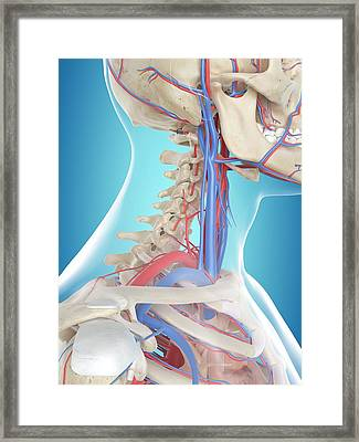 Human Vascular System Framed Print