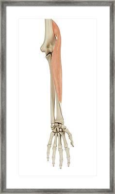 Human Arm Muscles Framed Print by Sciepro