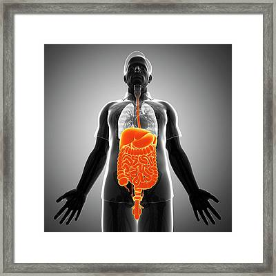 Male Digestive System Framed Print by Pixologicstudio/science Photo Library