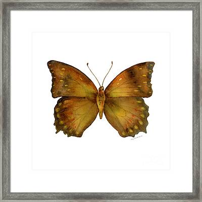 34 Charaxes Butterfly Framed Print by Amy Kirkpatrick