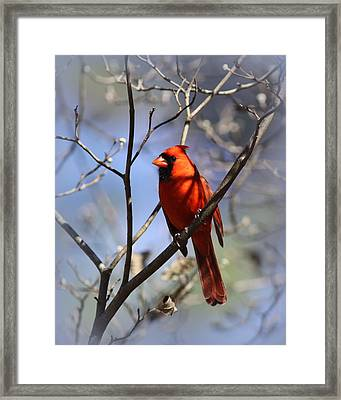 3477-006- Northern Cardinal Framed Print