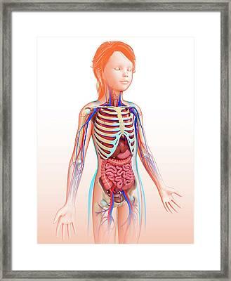 Human Internal Organs Framed Print by Pixologicstudio/science Photo Library