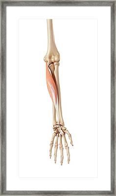 Muscles Of The Human Arm Framed Print by Sebastian Kaulitzki/science Photo Library