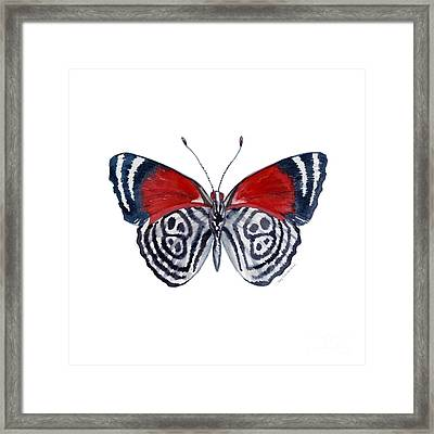 37 Diathria Clymena Butterfly Framed Print