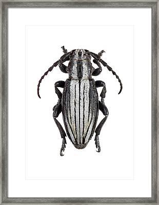 Longhorn Beetle Framed Print by F. Martinez Clavel