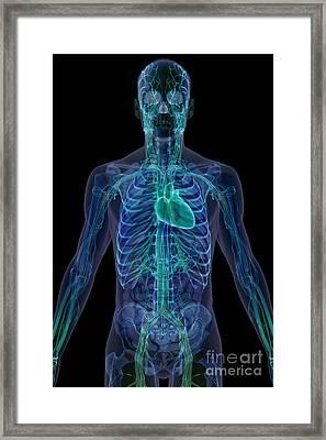 The Cardiovascular System Framed Print
