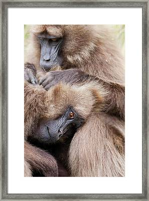 Gelada, Gelada Baboon (theropithecus Framed Print by Martin Zwick