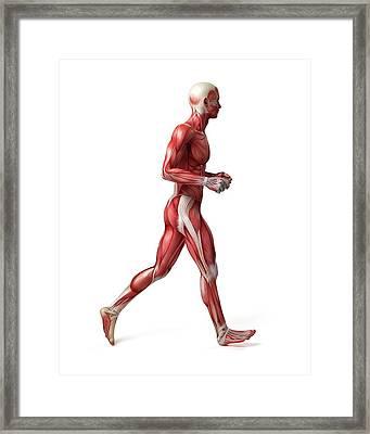 Male Muscular System Framed Print