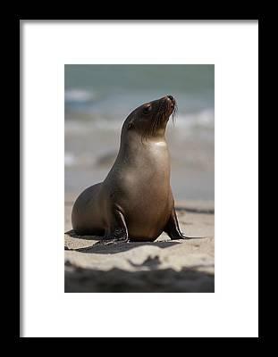 Seals Framed Prints