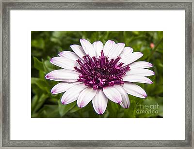 3d Berry White Cape Daisy - Osteospermum  Framed Print by Darleen Stry