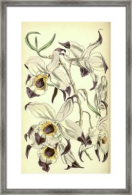 19th Century Botanical Colour  Print. Botanical Illustration Framed Print by Quint Lox