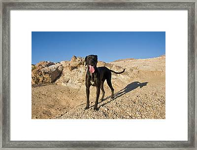 A Black German Shorthaired Pointer Framed Print by Zandria Muench Beraldo