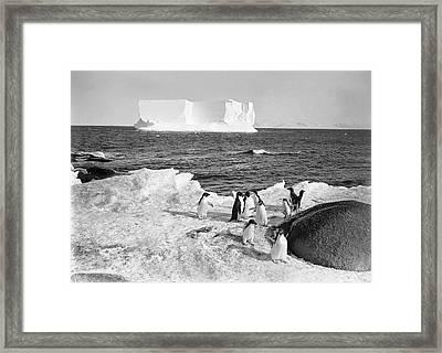 Adelie Penguins In Antarctica Framed Print