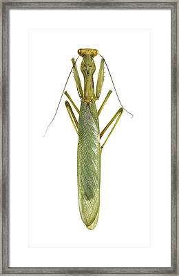 African Mantis Framed Print by Science Photo Library
