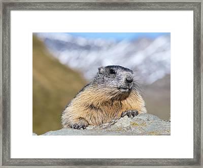 Alpine Marmot (marmota Marmota Framed Print by Martin Zwick