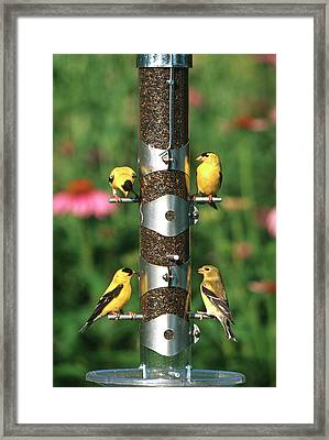 American Goldfinches (carduelis Tristis Framed Print