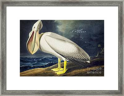 American White Pelican Framed Print by Celestial Images