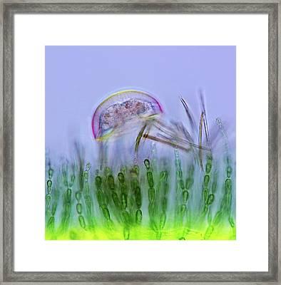 Amoeba Framed Print by Marek Mis