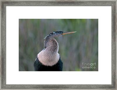 Anhinga Framed Print by Mark Newman