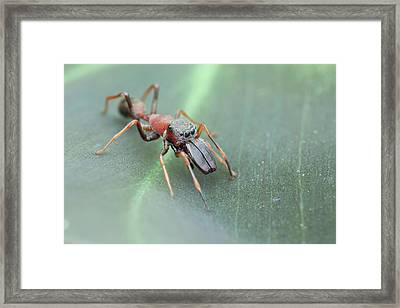Ant-mimic Jumping Spider Framed Print