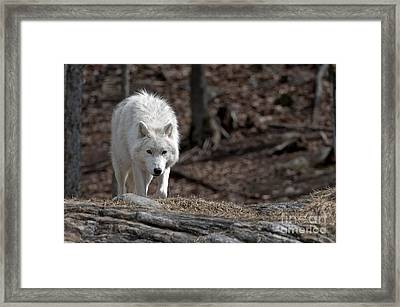 Framed Print featuring the photograph Arctic Wolf by Wolves Only