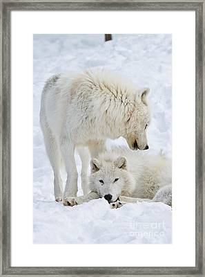 Arctic Wolves Framed Print by Michael Cummings